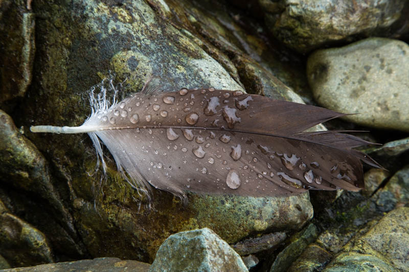 Raindrops On Eagle Feather