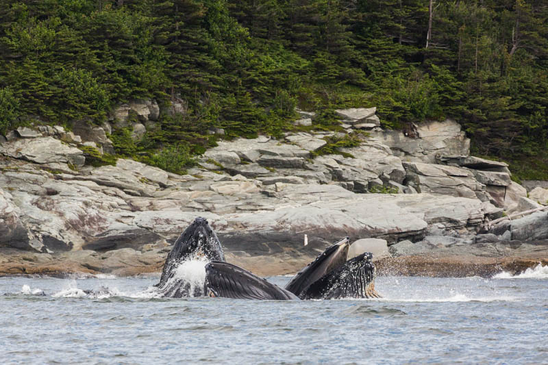 Bubble-Feeding Humpbacks