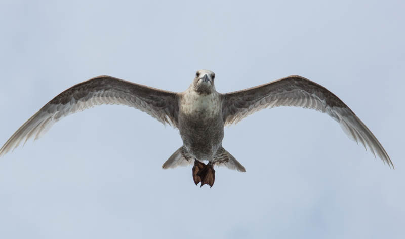 Gull In Flight