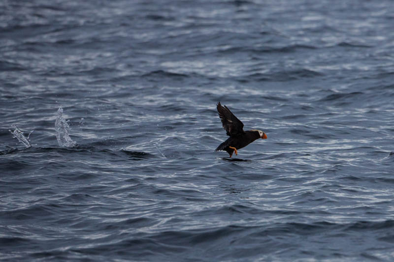 Tufted Puffin Taking Flight