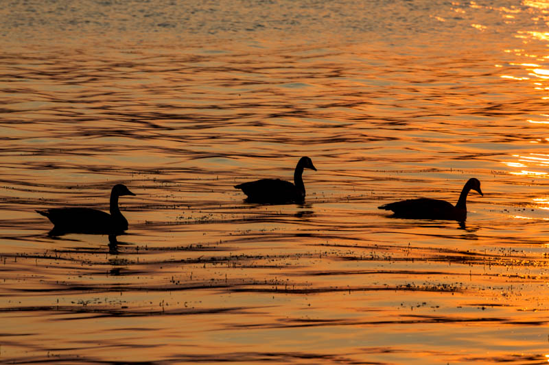 Canada Geese At Sunrise