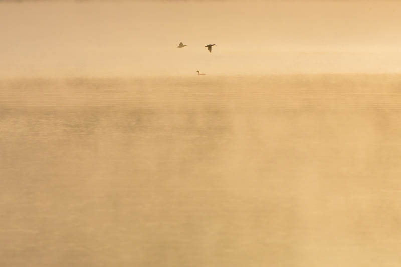 Northern Shoveller And Red-Necked Grebe At Sunrise