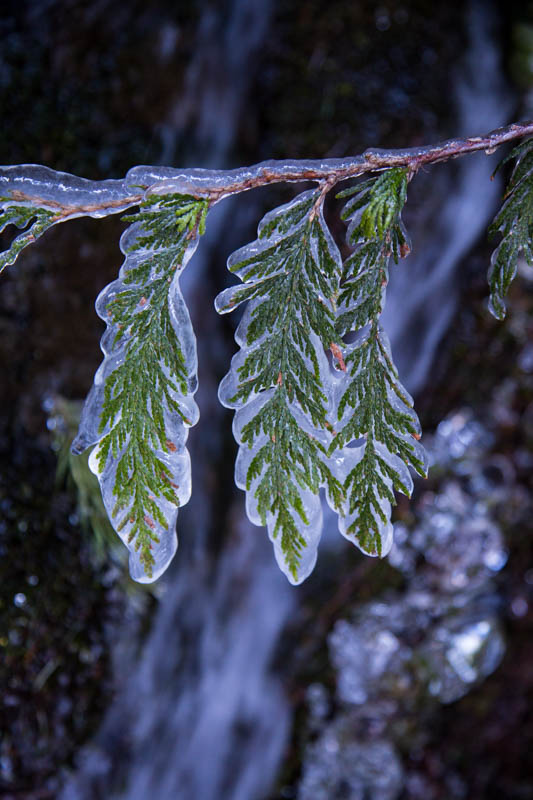 Ice Encased Fir Branch