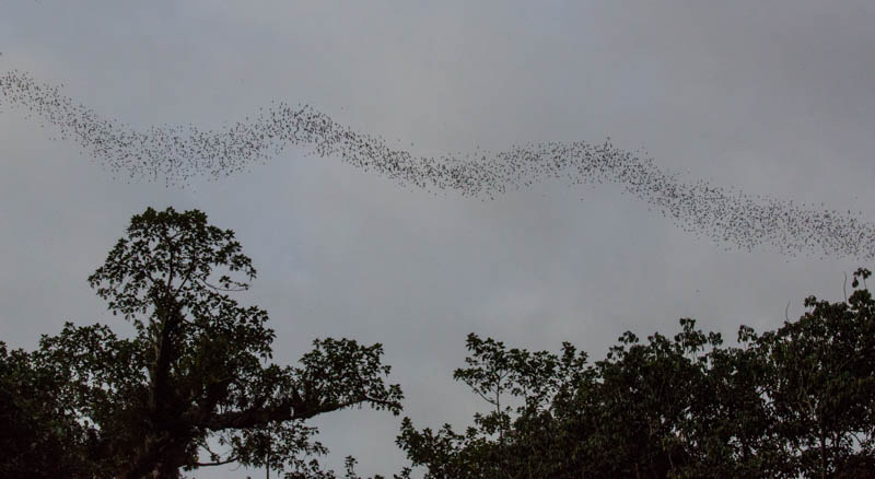 Bats Emerging From Wind Cave