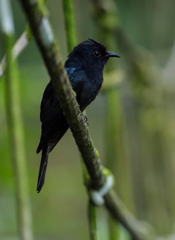 Asian Drongo-Cuckoo