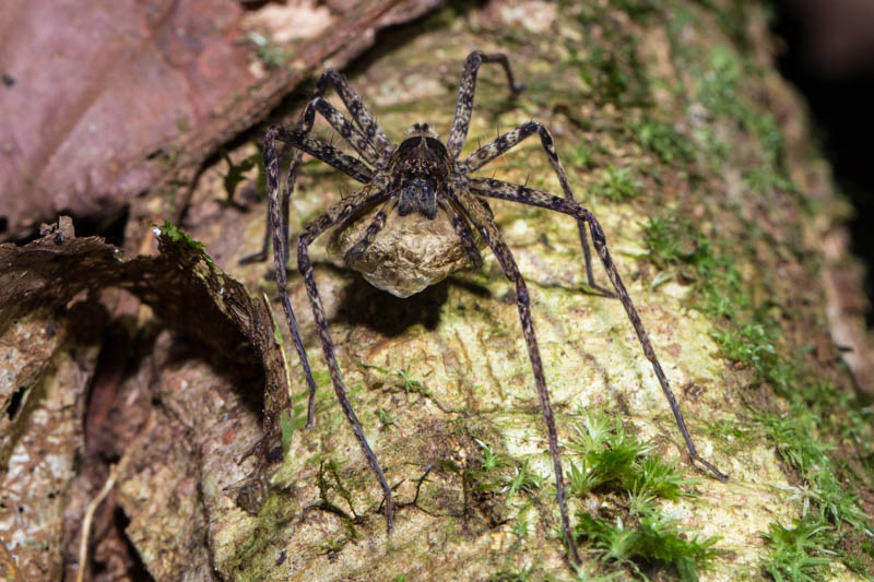 Huntsman Spider Protecting Eggs