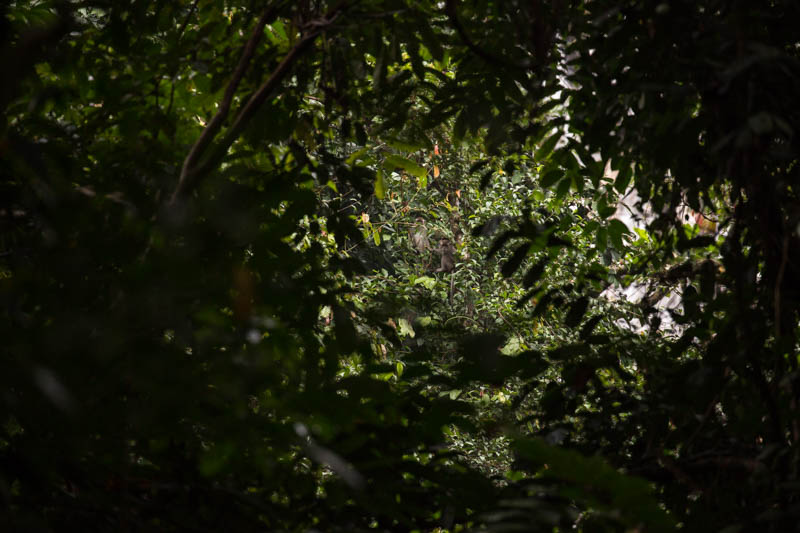 Long-Tailed Macaque In Trees