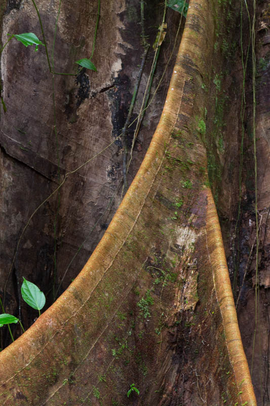 Root Buttress