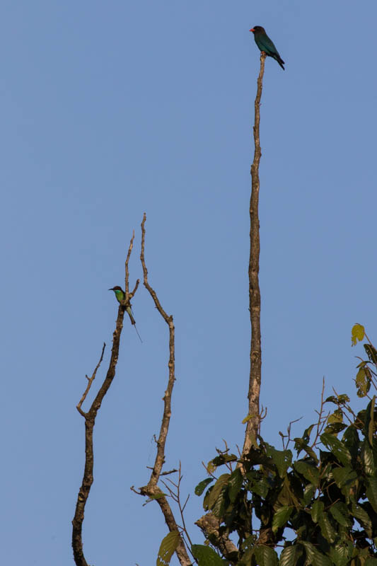 Blue-Throated Bee-Eater And Dollarbird