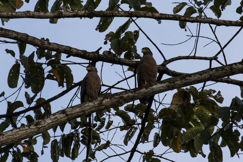 Crested Serpent-Eagles
