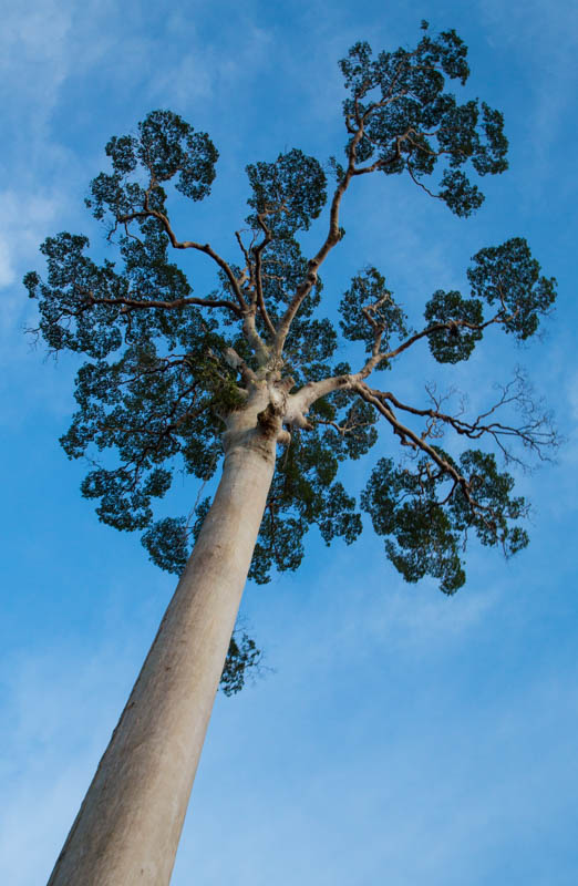 Tree With Spreading Branches