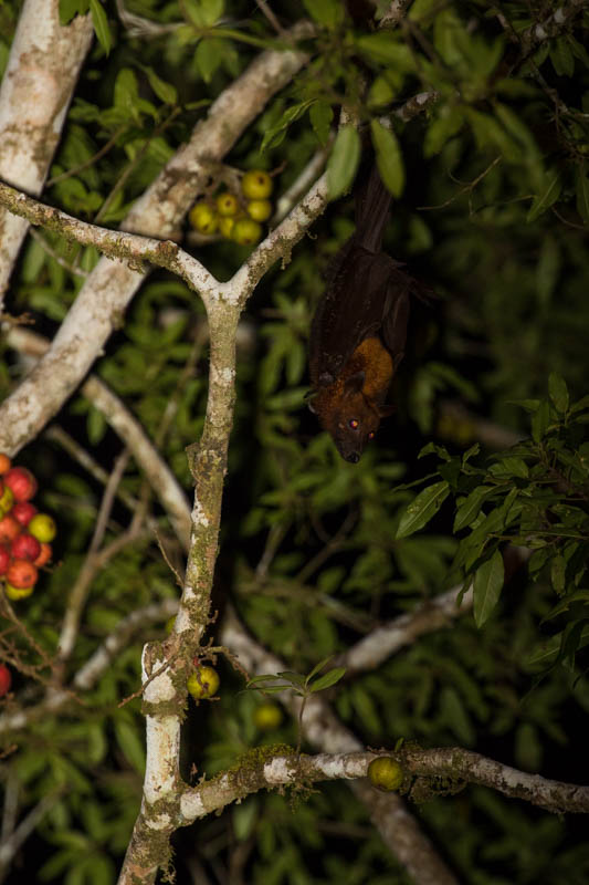 Large Flying Fox