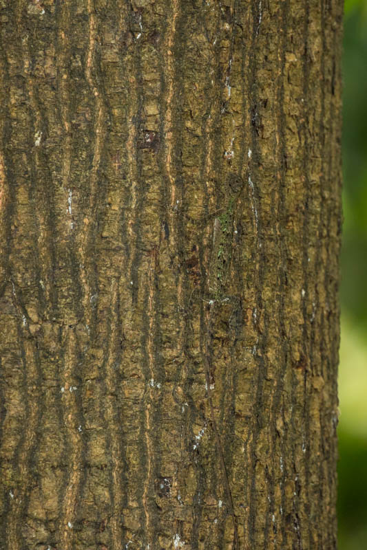 Lizzard on Tree Trunk