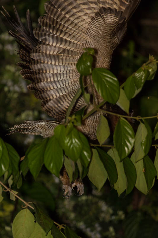 Brown Wood-Owl Taking Flight