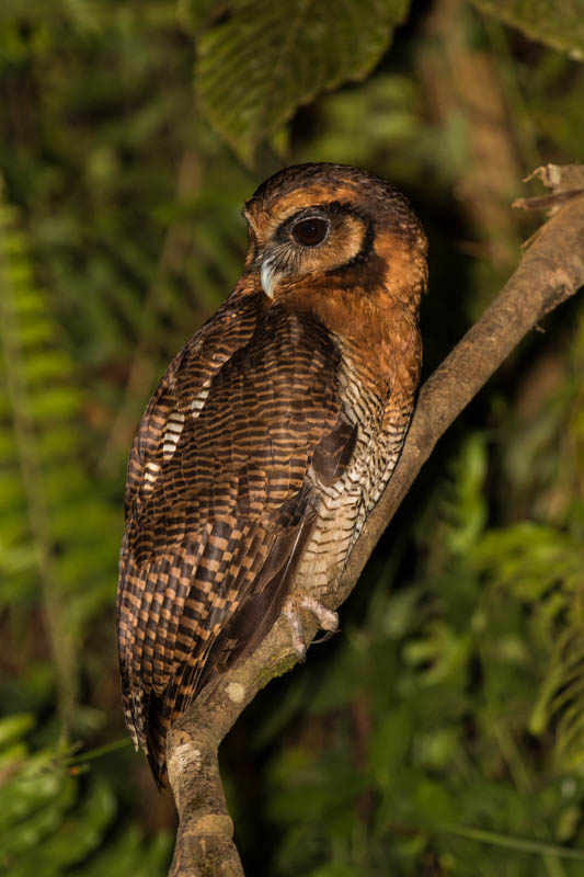Brown Wood-Owl