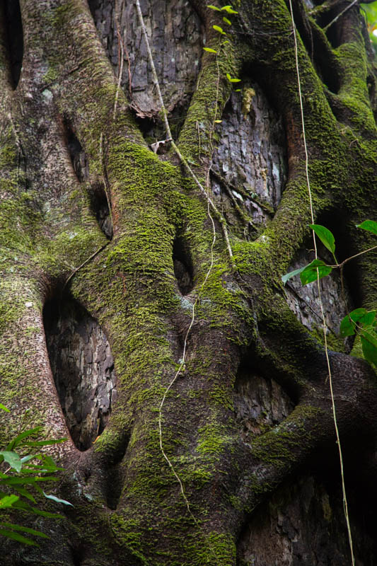 Fig Roots On Tree