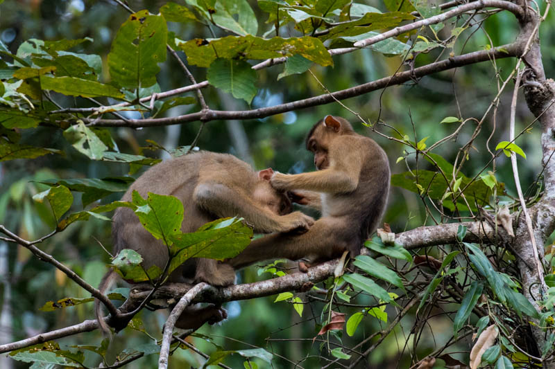 Sunda Pig-Tailed Macaques Grooming