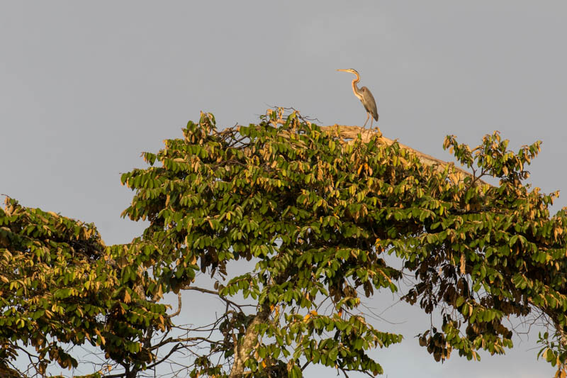 Purple Heron In Tree