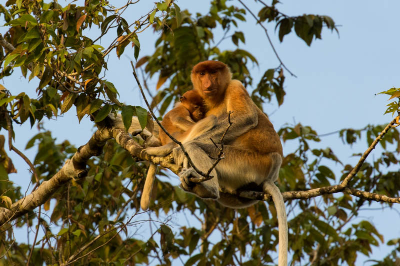 Proboscis Monkey Mother With Juvenile