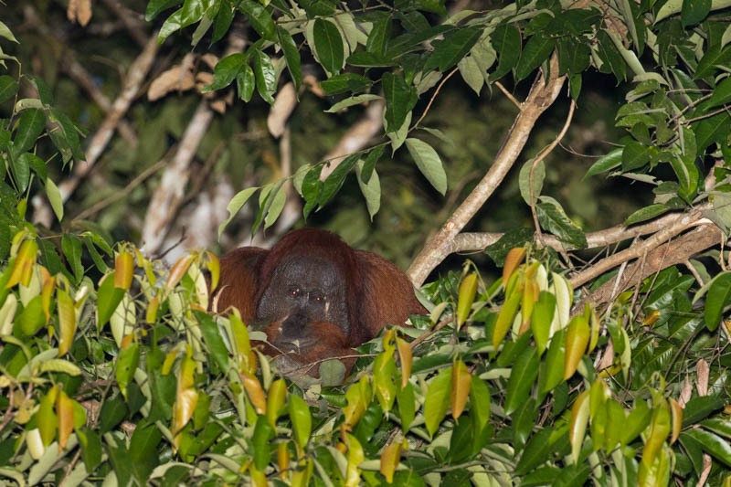 Bornean Orangutan Making Nest In Tree