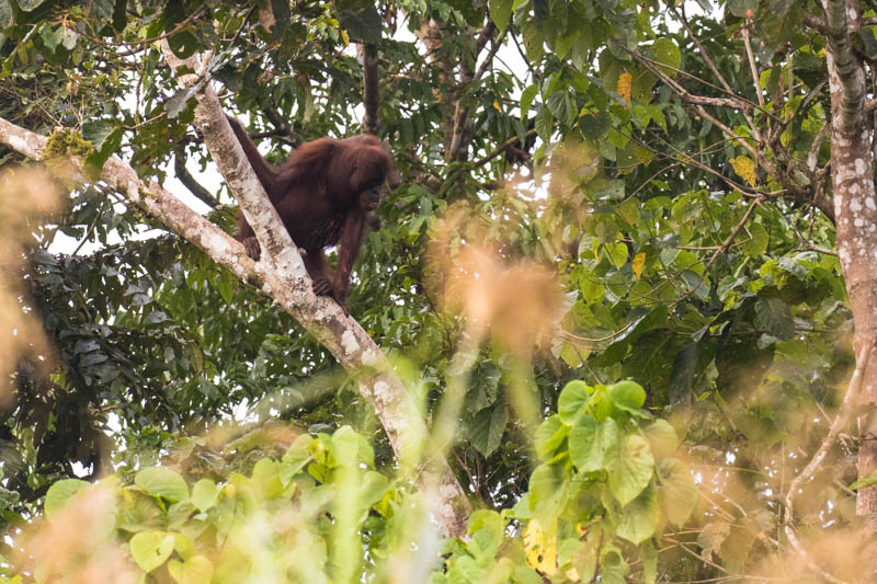 Bornean Orangutan In Tree