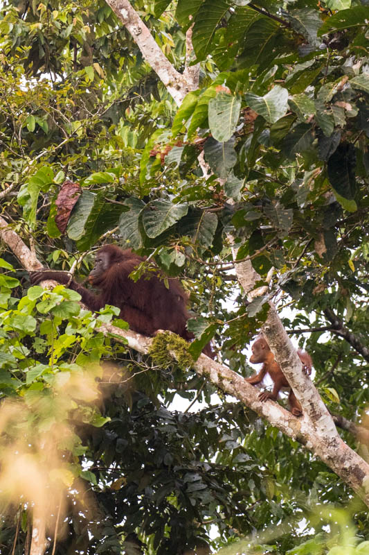 Junvenile Bornean Orangutan And Mother