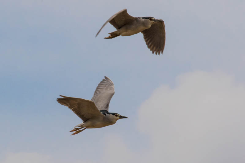 Black-Crowned Night Herons In Flight