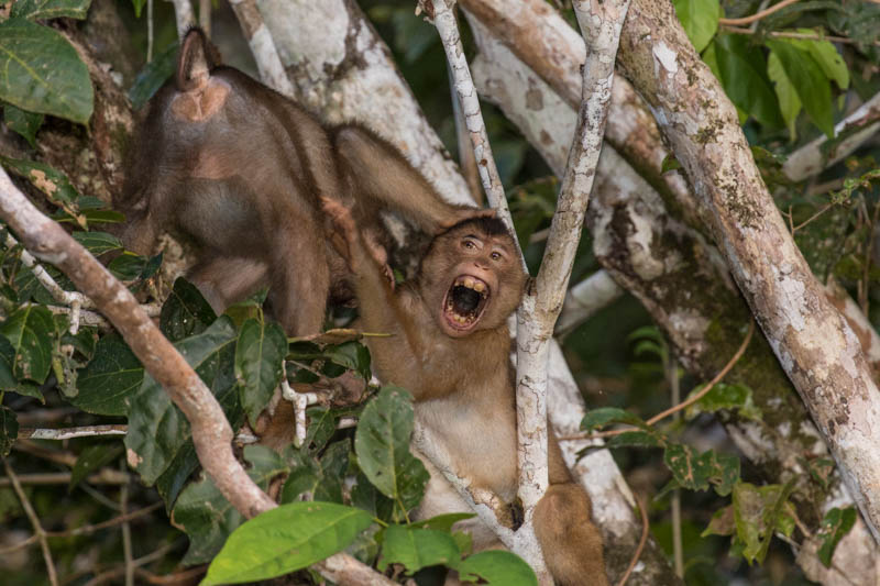 Sunda Pig-Tailed Macaques Fighting