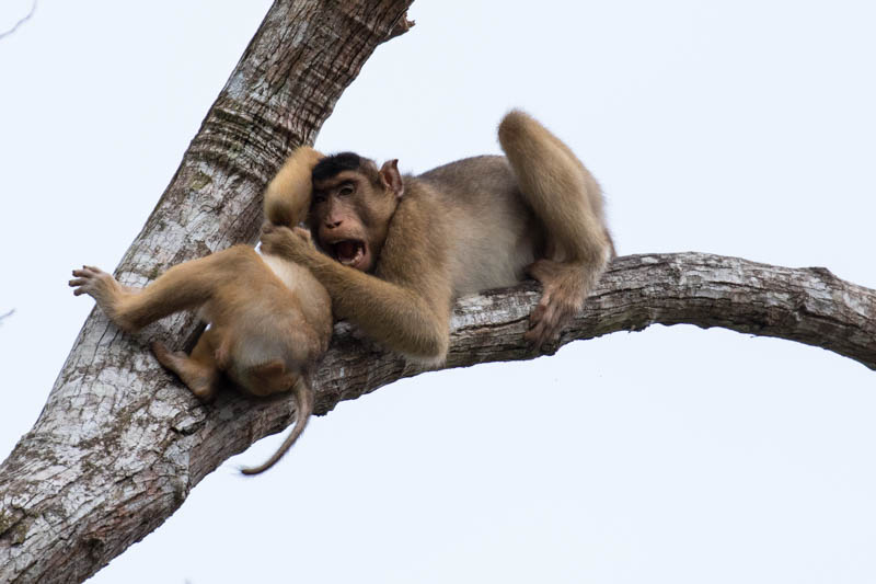 Sunda Pig-Tailed Macaques