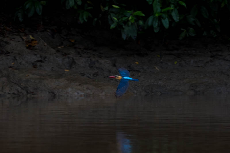 Stork-Billed Kingfisher In Flight