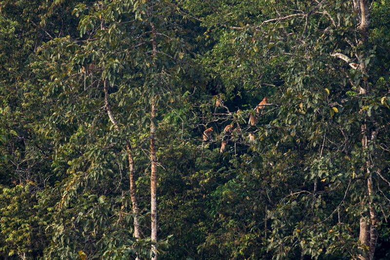 Proboscis Monkey Troop In Trees