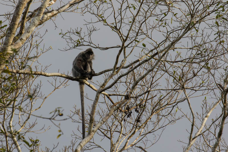 Silvered Leaf Monkey