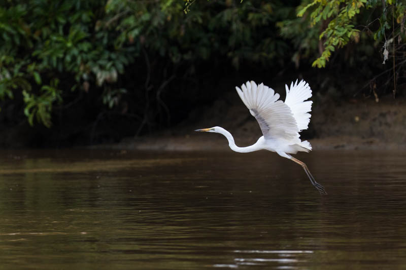 Pacific Reef Egret In Flight
