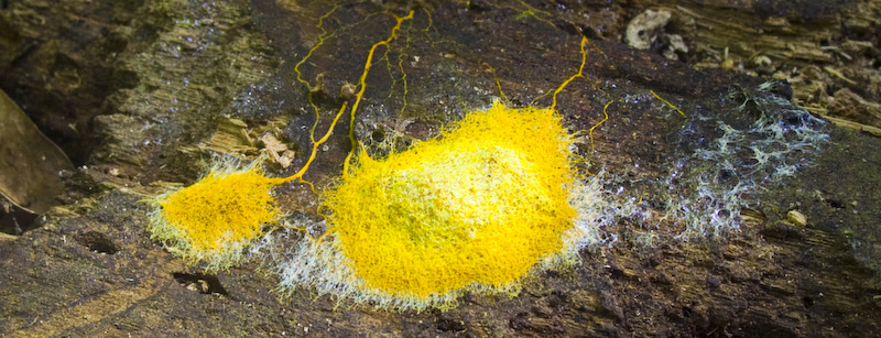 Slime Mold On Fallen Log