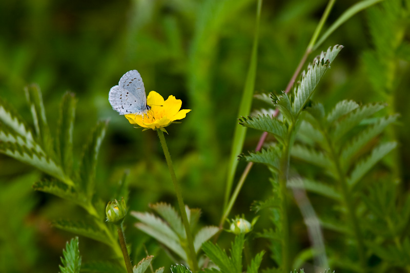Blue Butterfly On Silverweed Flower
