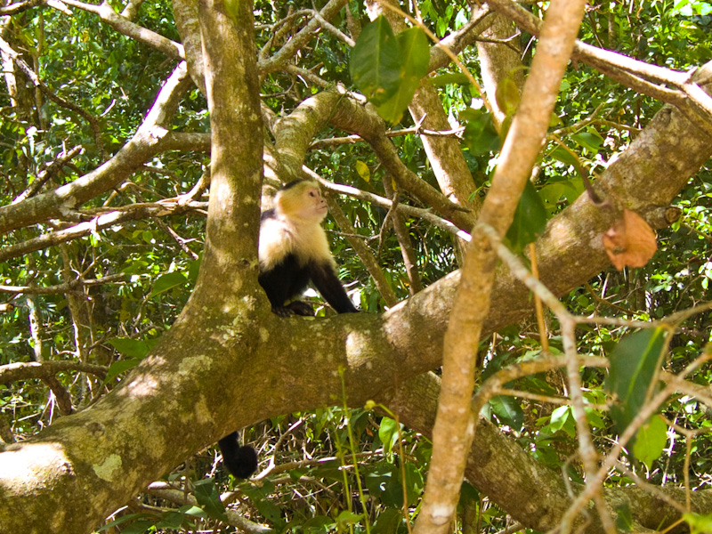 White-Faced Capuchin In Tree