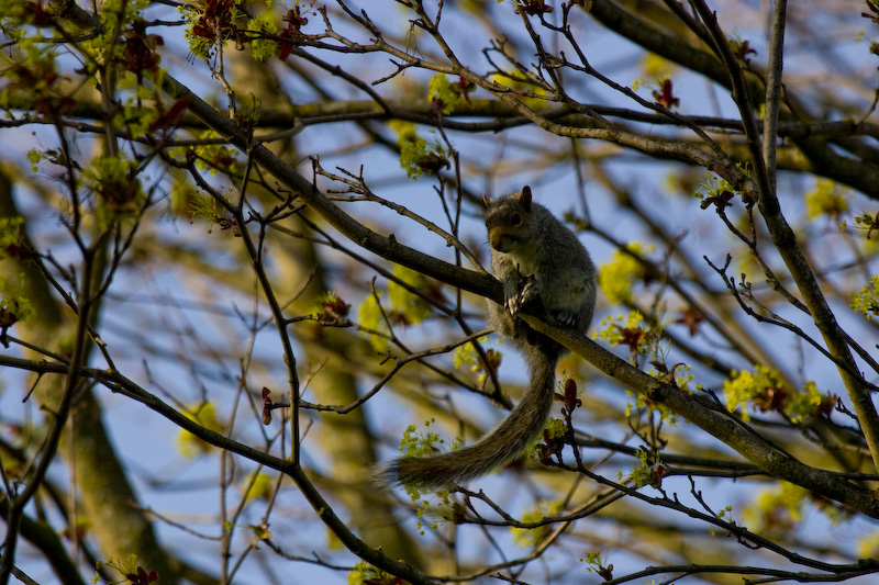 Eastern Gray Squirrel In Tree